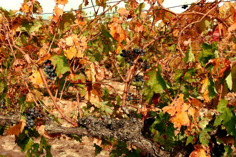 Vineyard close up edited